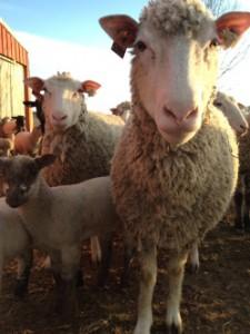 Stone Burr Farm lamb